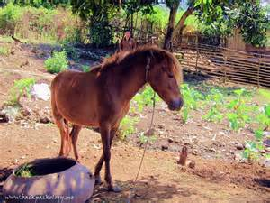 Kuda Liar Sumbawa